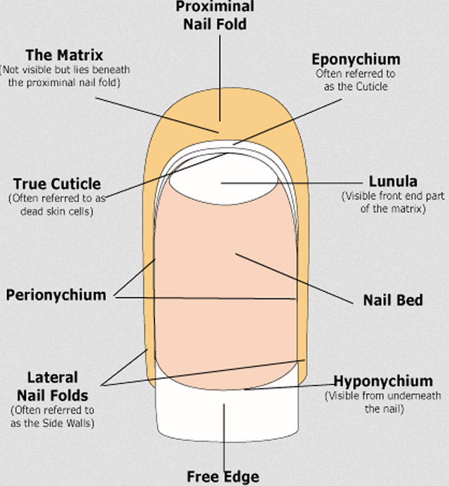 what is cuticle