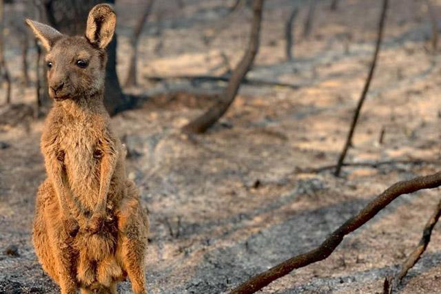 Australian bushfires kangaroo in danger