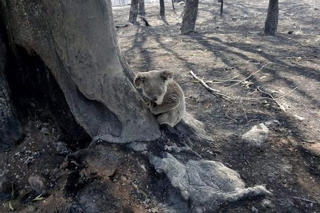 Australian bushfires koalas in danger