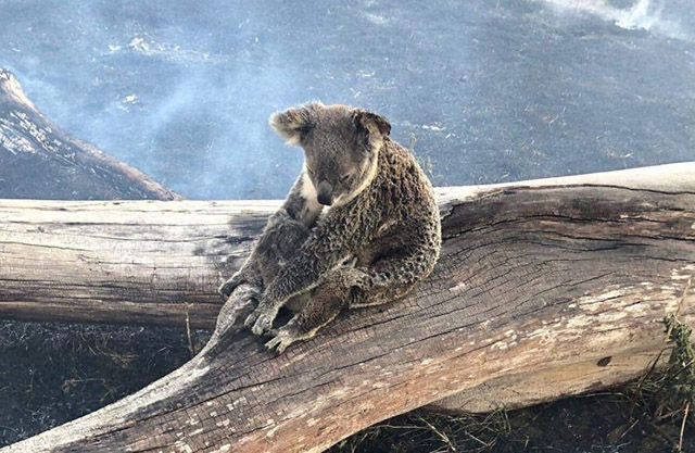 Australian fires koalas in danger
