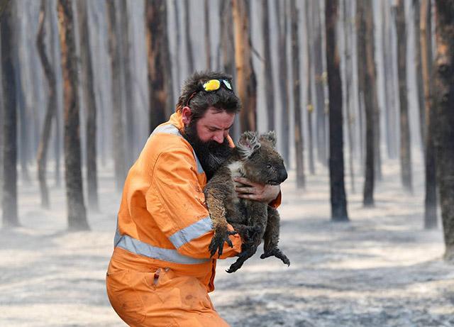 koala rescued from fire in australia
