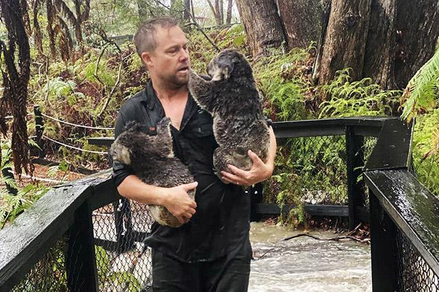 koalas saved from devastating floods in australia 2020